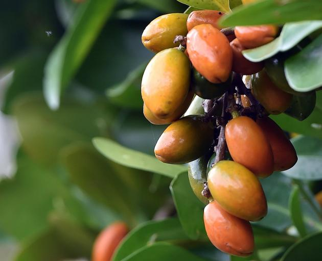 Corynocarpus laevigatus. PHOTO: PETER MCINTOSH