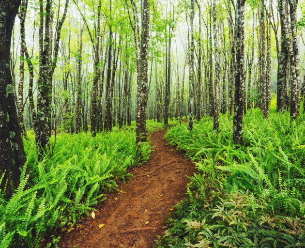 Trail through beautiful ash trees and native ferns in the Makawao Forest Reserve, Hawaii. Photo: Getty Images