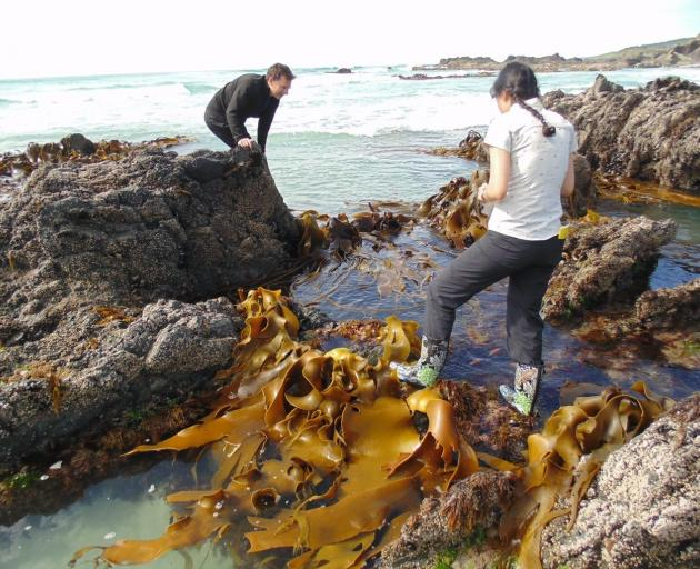 Otago University biologists Professor Jon Waters and PhD student Elahe Parvizi sample kelp on the...
