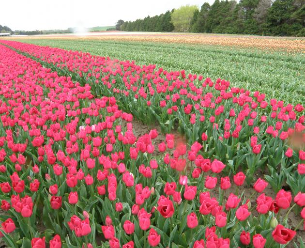 Five Southland companies lease or own a combined 350ha, growing and exporting an estimated 175million tulip bulbs every season. Photo: SRL files