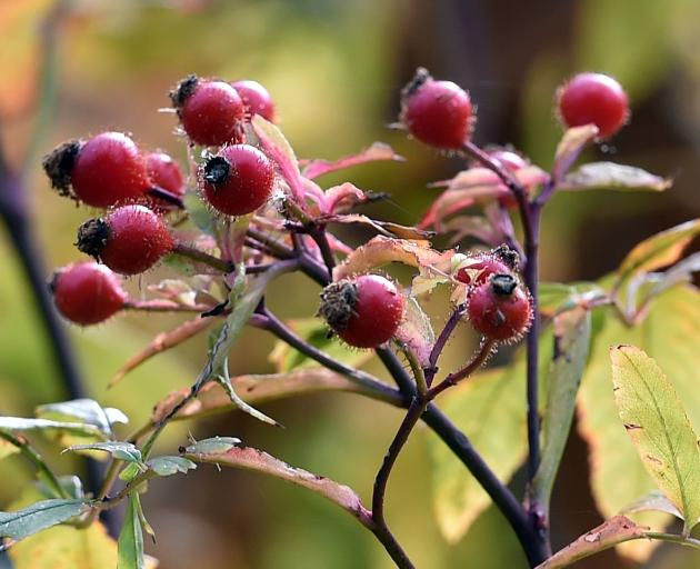 Rosa palustris. Photo: Peter McIntosh