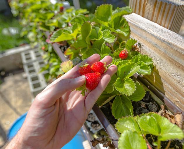Get early strawberries when you combine hydroponics with under-cover growing. Photo: Getty Images