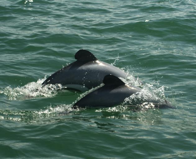 Maui's dolphin. Photo: File
