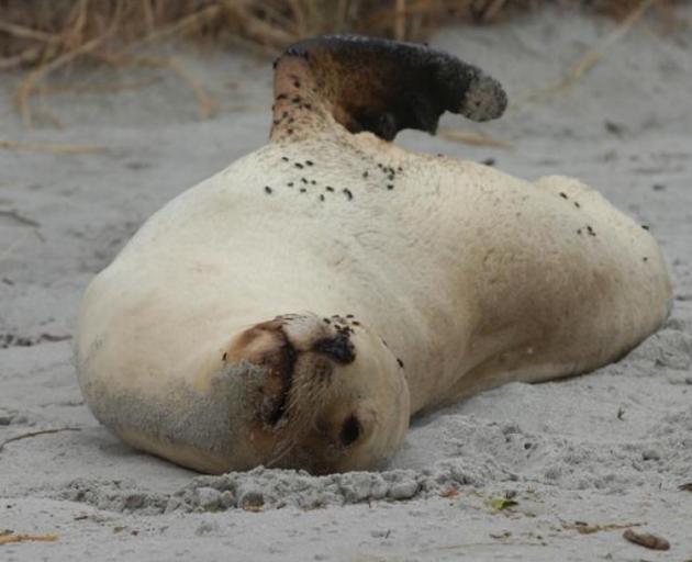 A sea lion basking on a Dunedin beach this summer. Photo: ODT files