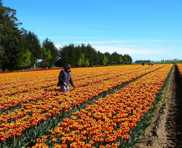Jan Steltenpool helps ensure only the best tulip bulbs make the grade. Photo: Supplied