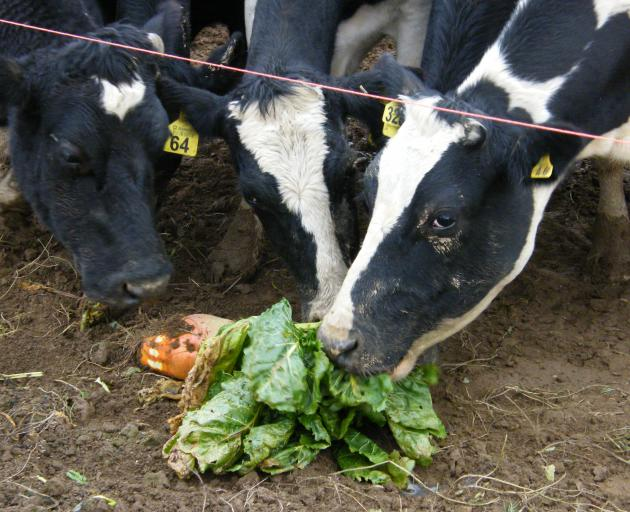 Cows love fodder beet and and utilise it well, but researchers are looking at the best ways of managing and feeding the crop. Photo: Southern Rural Life Files