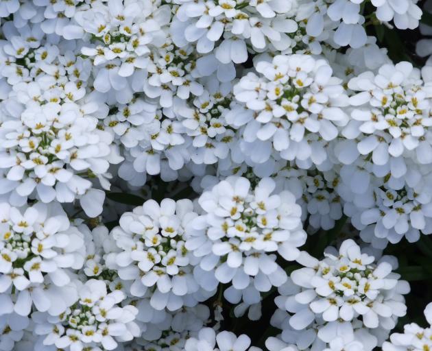 Perennial candytuft (iberis) flowers in November. Photo: Gillian Vine