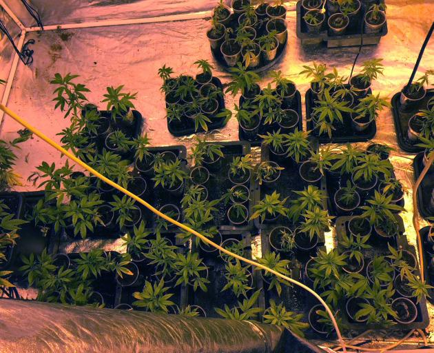 Police said such was the care put into the maintenance of Harley Brown's crop, there was little...