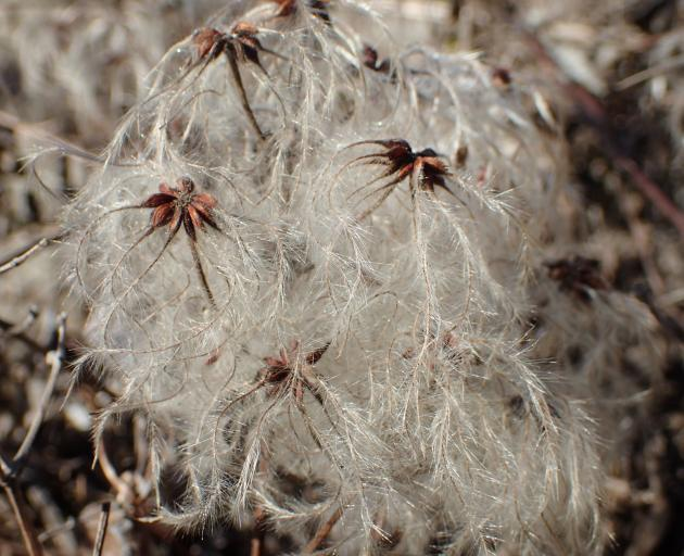 Clematis tangutica seed is dispersed by the wind.