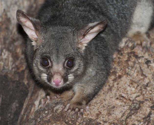 Possums are frequent home invaders. Photo: Getty Images