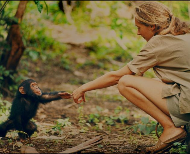 Jane Goodall and infant chimpanzee Flint reach out to touch each other's hands. Flint was the...
