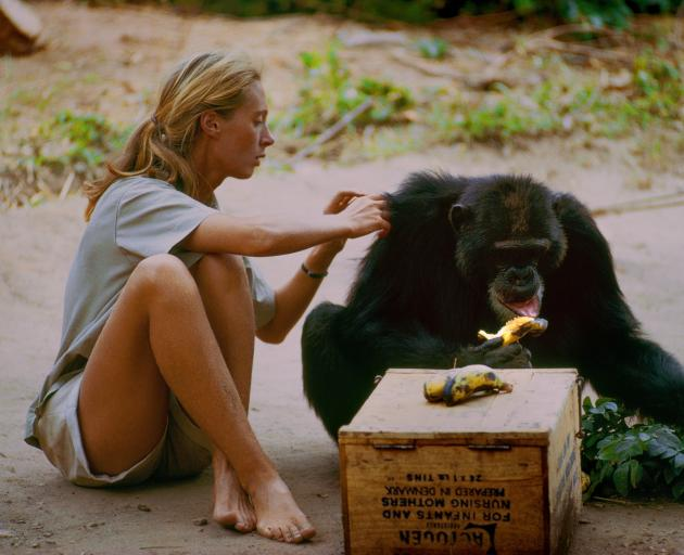 David Greybeard was the first chimp to lose his fear of Jane, eventually coming to her camp to...