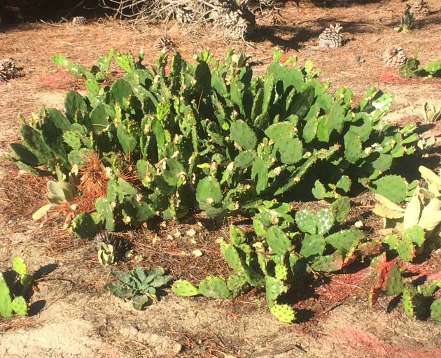 Prickly pear (Opuntia) on an Alexandra council reserve.
