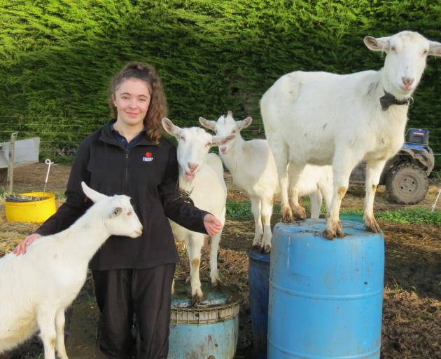 Kimberley Simmons and her brother Jack have four Saanen dairy goats, two of which are adult females that are milked each day. They are well trained and stand on barrels for milking when required. Photos: Teena Simmons