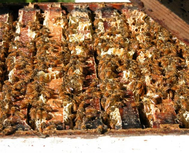 If a hive is infected with American Foulbrood, then it has to be destroyed. The Southern Beekeepers discussion group is running a sustainable farming fund study, Clean Hive, to determine the best method of infection detection. Photo: SRL archive