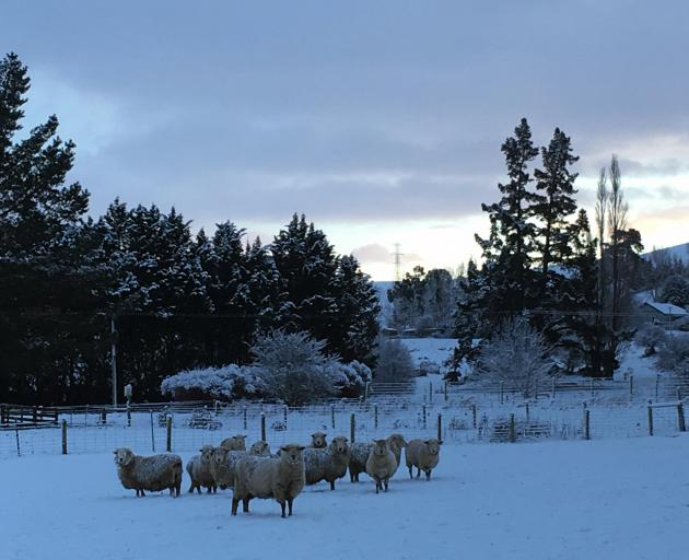 A cold start to the day for these sheep in Millers Flat. Photo: Supplied