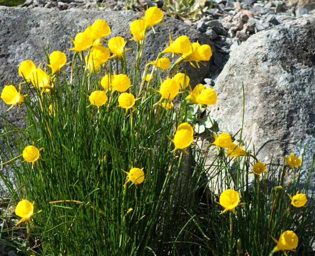 Merodon equestris tends to avoid narcissus with small bulbs, such as N. bulbocodium.