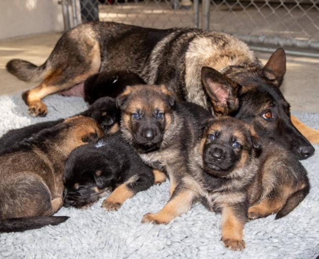 A litter of puppies bred at the NZ Police dog training centre. Photo: NZME