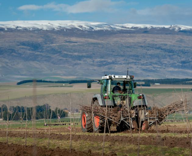 The first of 7500 cherry trees are planted at Hortinvest's Lindis River project. The project is one of three major cherry developments led by Hortinvest in Central Otago. Photo: Supplied