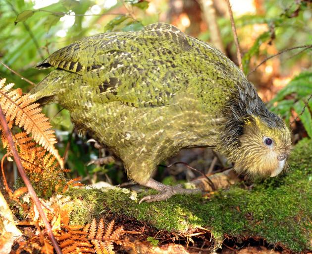 A kakapo on the forest floor of Whenua Roa. Photo: Stephen Jaquiery