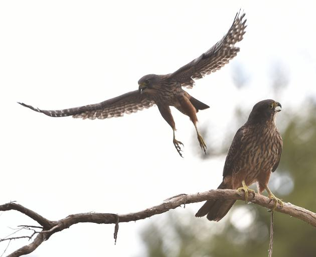 Falcons by a forestry block near Taieri Mouth. Photo: Peter McIntosh