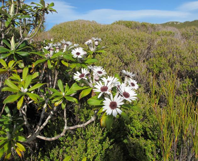 The native Olearia tree daisy teteaweka flowering in shrubland near the island's summit. Photo:...