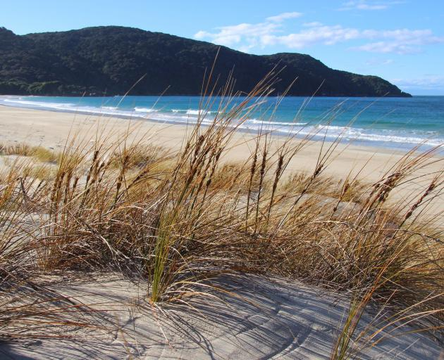 Pingao, the native golden sand sedge, is well established in the Sealers Bay dunelands.