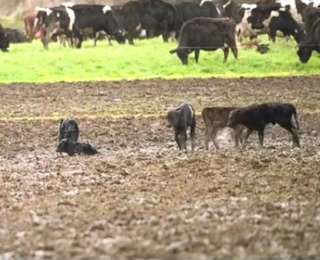A screenshot of the video of the Super Farm. Photo: Geoff Reid NZ via NZME.