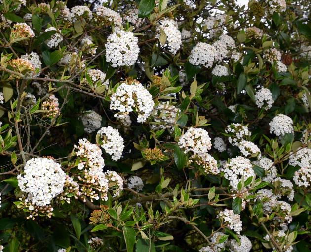 Viburnum x burkwoodii has highly fragrant white flowers. Photo: Gregor Richardson
