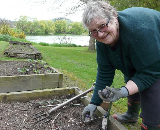 Waitahuna-Lawrence Garden Club secretary Margaret Healy plants seed potatoes in her Beaumont garden, adjoining the Clutha River, before the club's 50th jubilee this Saturday. Photo: Richard Davison