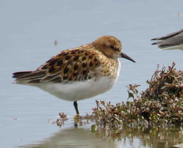 """A rare bird, named """"little stint"""", was spotted in Birdlings Flat 12,000km from its home in the..."""
