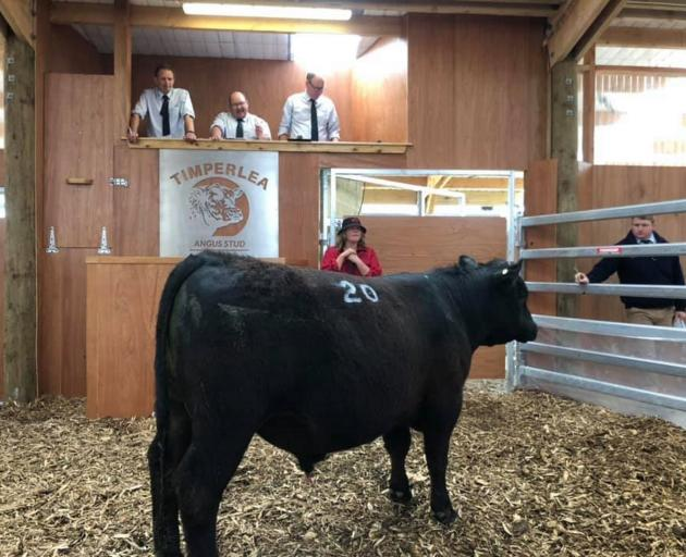 Marie Timperley checks on one her bulls in the ring at Timperlea Angus' first on-farm yearling bull sale. Photo: Supplied