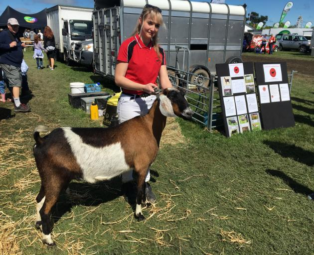 Abagael Carden-Holdstock leads nubian dairy goat Cupcake, which won its fair share of ribbons.