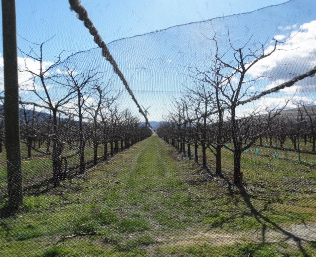 A netted cherry orchard in the Cromwell Basin. PHOTO: MARK PRICE