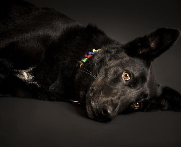 Bella, whose image will appear in the SPCA's fundraising calendar. Photo: Supplied