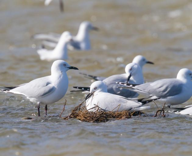 The black-billed gulls were initially reluctant to move on.