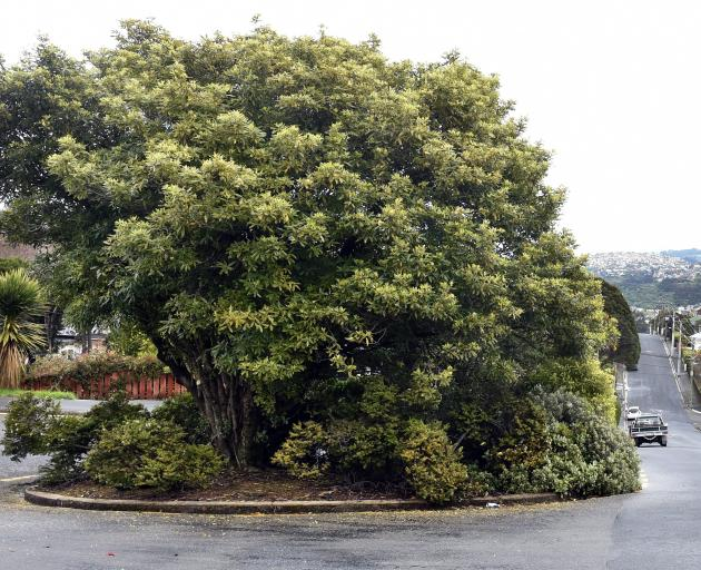 Here's a street lemonwood that has plenty of room to spread as it grows. It's in a bus turning...