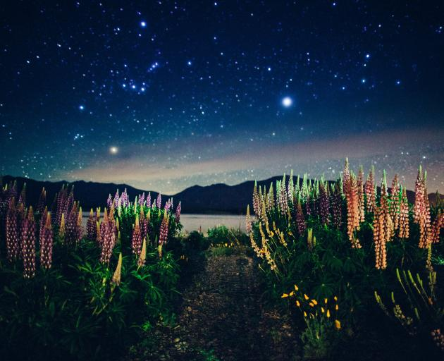 The Constellation of Orion appears above lupins on the shores of Lake Tekapo. Photo: Maki...