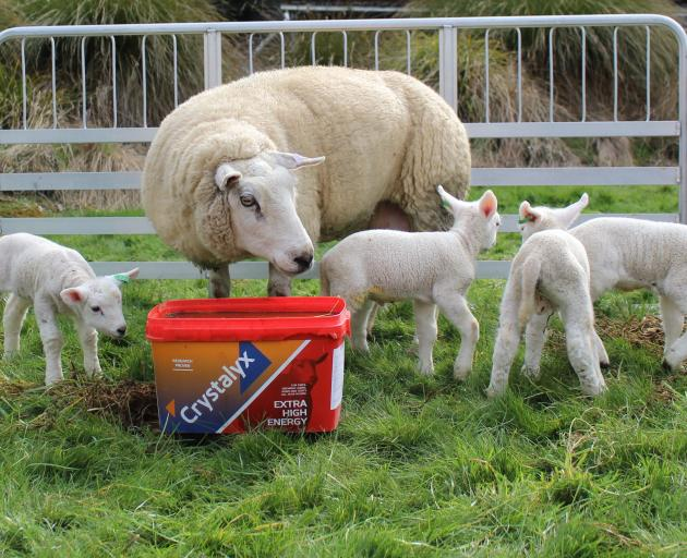 These quads at Cromarty Texel Stud, in Invercargill, are looking well-muscled and meatier, thanks to imported semen from Scottish studs. Photo: Supplied