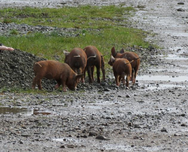 The Templers encourage their Filipino staff members to rear pigs for pork and for sale. In the meantime, the piglets range free over the property.