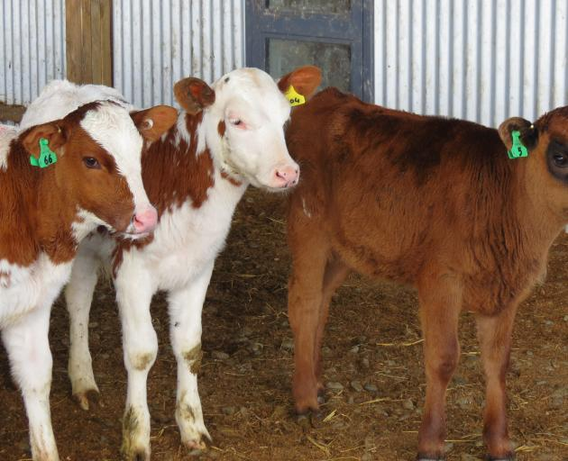 The Templers have introduced more unusual breeds into their dairy herd, including Aussie Reds and Montbeliarde.