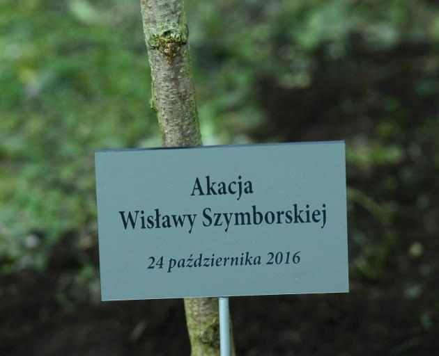 A tree planted for Wislawa Szymborska in Krakow. Photo: Getty Images
