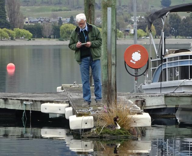 Retired zoologist and Lake Wanaka marina grebes project founder John Darby monitors the progress of the first egg this breeding season. Photos: Kerrie Waterworth