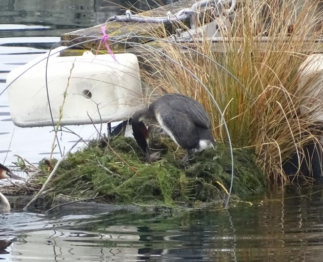 An adult grebe turns the egg after the other delivered extra nesting material to their nest beside the Wanaka marina.