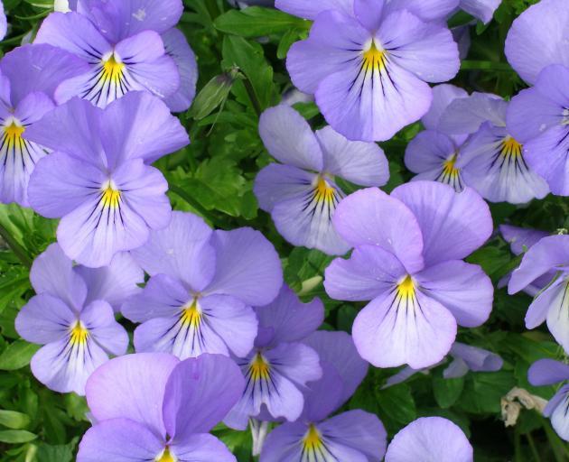 Violas have little flavour but are very decorative.
