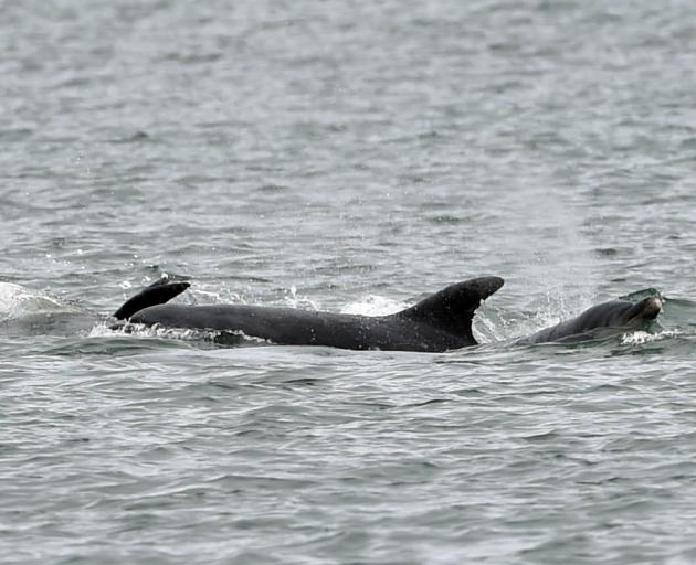 Dolphins have been seen in Otago Harbour last night and this morning. Photo: Peter McIntosh