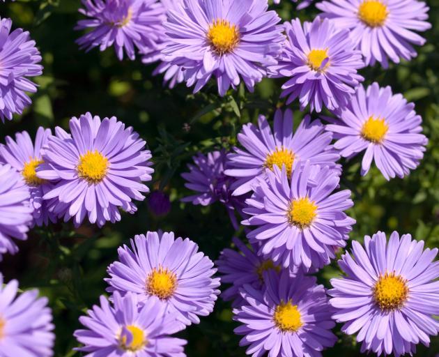 Michaelmas daisy (Aster).