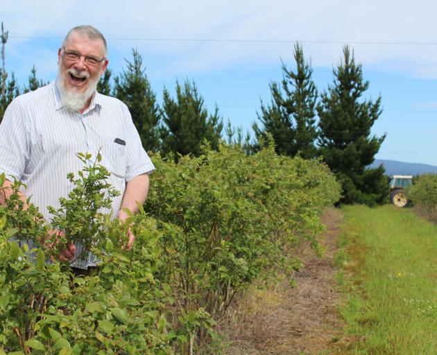 Blueberry Country general manager Simon Bardon, of Wallacetown, checks on one of the company's...