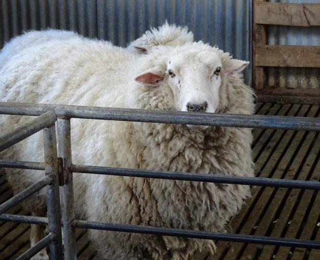 A sheep waits for its annual haircut at a farm in Dalefield, near Queenstown. Photo: Tracey Roxburgh