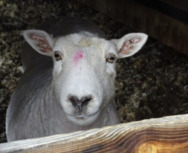 A newly shorn sheep waits to join its friends. Photo: Tracey Roxburgh